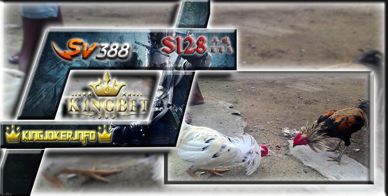 Adu Ayam S128 Pukulan Keras Ayam Harus Di Waspadai!